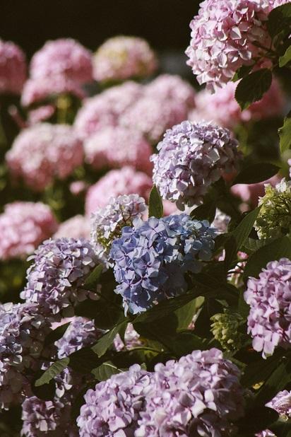Type hortensia